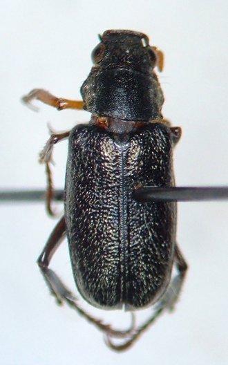 Undescribed Dichelonyx species near D. fuscula - Dichelonyx