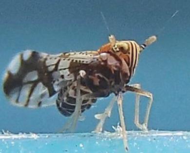 Delphacinae? - Liburniella ornata