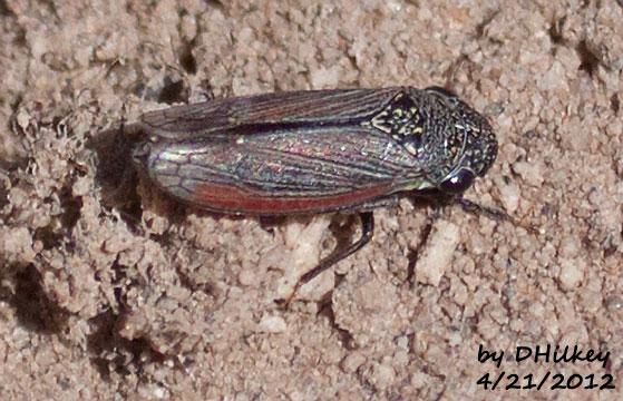 Leafhopper in genus Cuerna unknown species - Cuerna obtusa