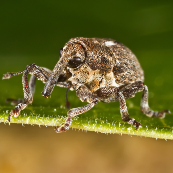 Unknown Tiny Weevil - Glocianus punctiger