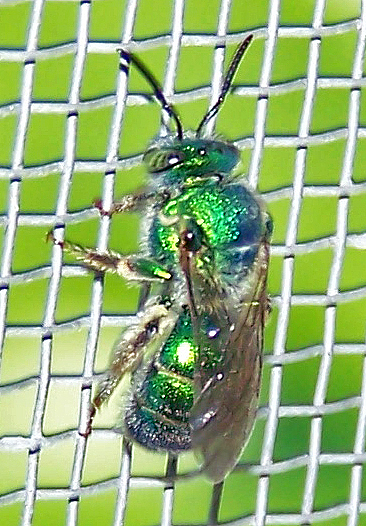 Augochloropsis metallica - female