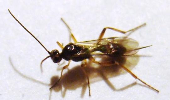 Braconid wasp - Meteorus - female