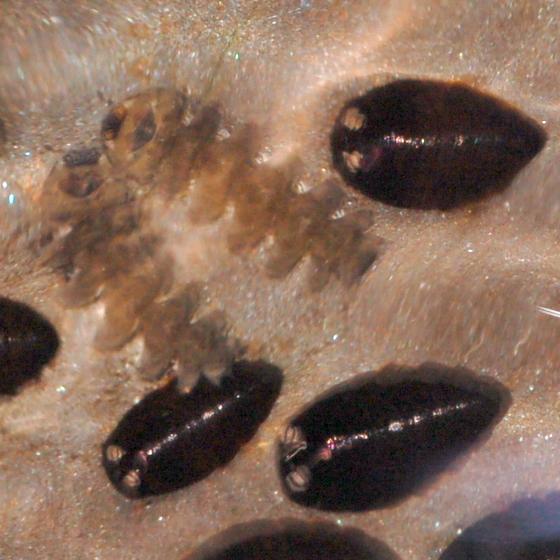 Blepharicerid larvae and pupae - Blepharicera