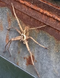 What kind of spider am I? - Heteropoda venatoria