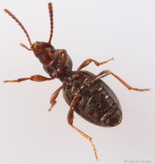beetle - Apocrypha anthicoides