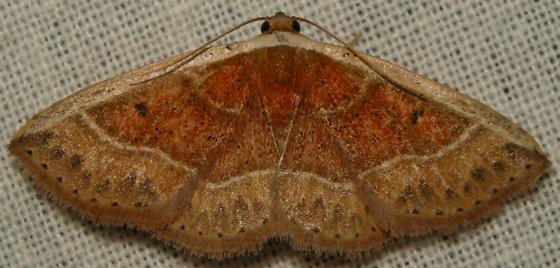 The white edge - Oruza albocostaliata