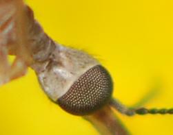 small crane fly - Limonia communis