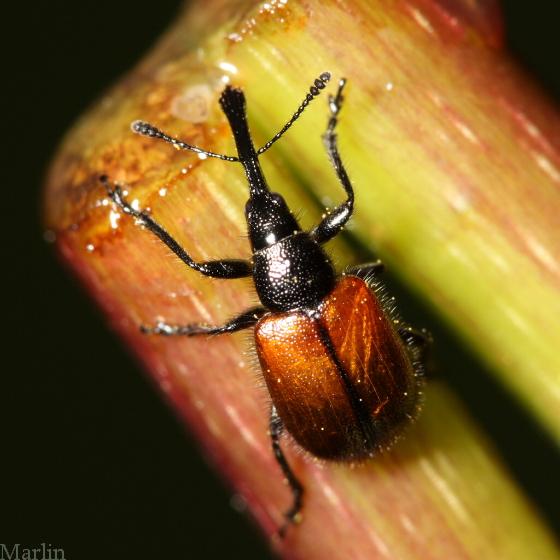 Head-clipping Weevil - Haplorhynchites aeneus