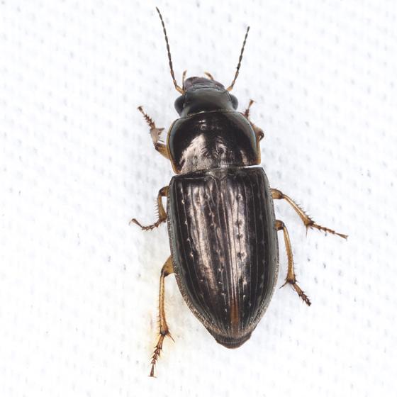 Ground Beetle - Selenophorus palliatus
