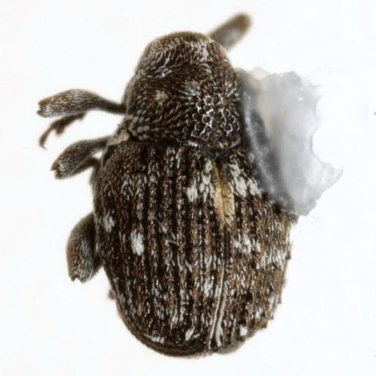 Auleutes tuberculatus Dietz - Auleutes tuberculatus