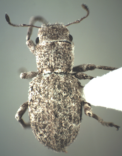 Minyomerus sp. - Minyomerus laticeps