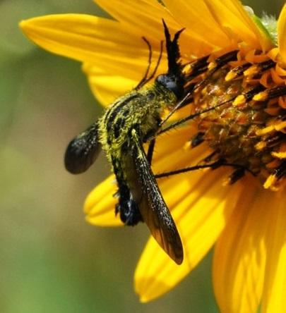 Unknown Dipteran - Lepidophora
