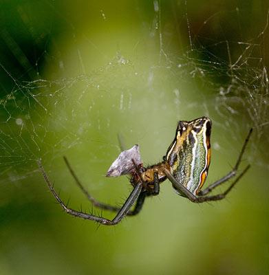 Basilica Spider - Mecynogea lemniscata