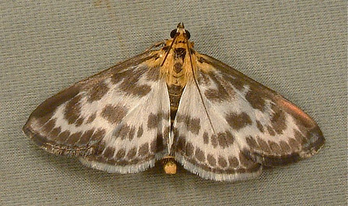 978 Small Magpie 4952 - Anania hortulata