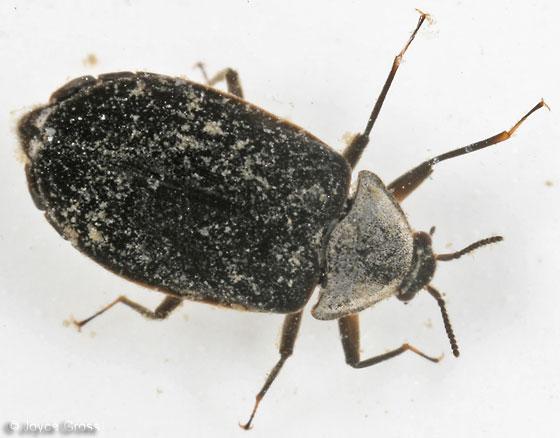 water penny beetle - Psephenus herricki