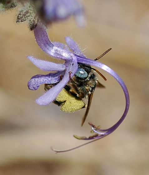 Bee - female