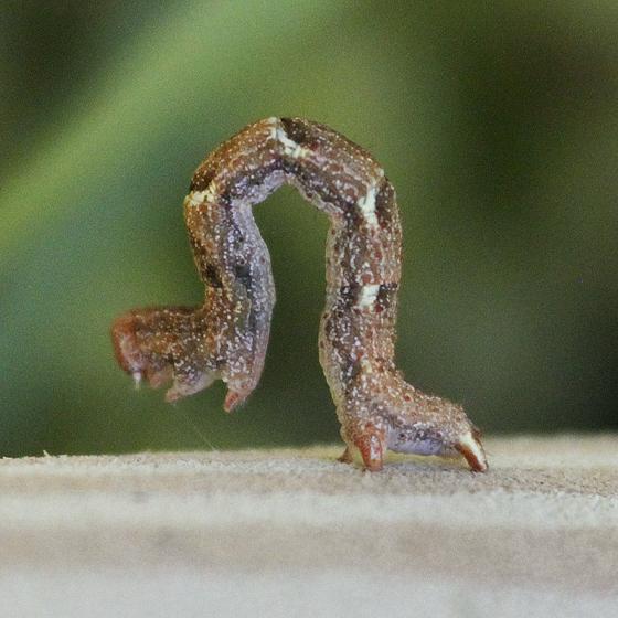Think this is a Cyclophora dataria caterpillar - Cyclophora dataria