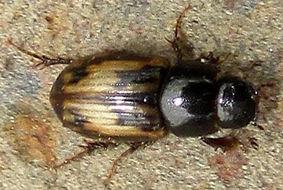Equine Beetle - Aphodius distinctus