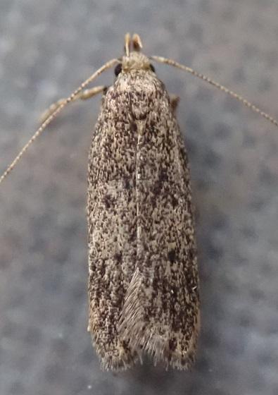 Glyphidocera juniperella?