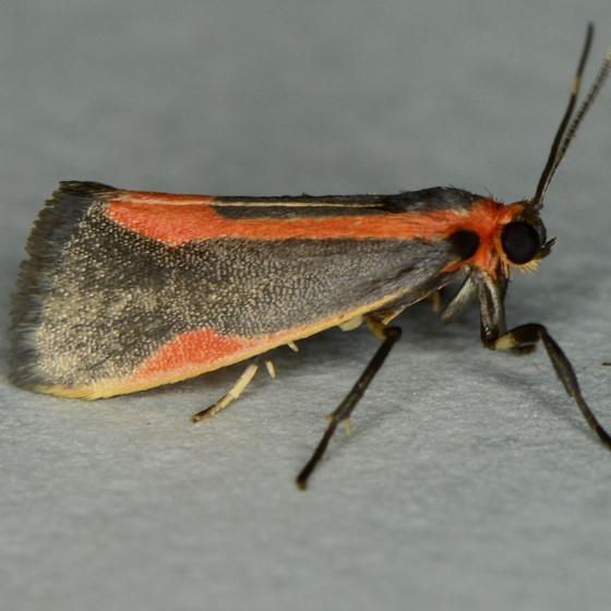 Subject Lichen Moth - Cisthene subjecta