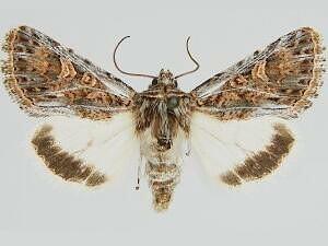 Sympistis osiris - Hodges #10082.4 - Sympistis osiris - male