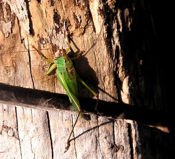 Black-legged Meadow Katydid? - Orchelimum nigripes - male