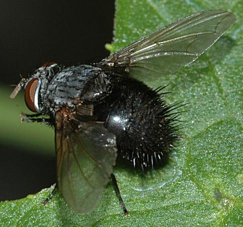 Black Tachinid Fly - Leschenaultia