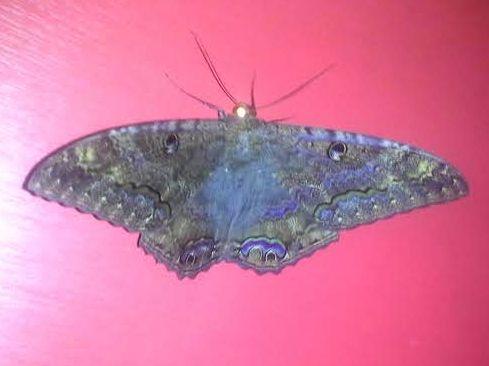 Black Witch Moth - BWM - Ascalapha odorata