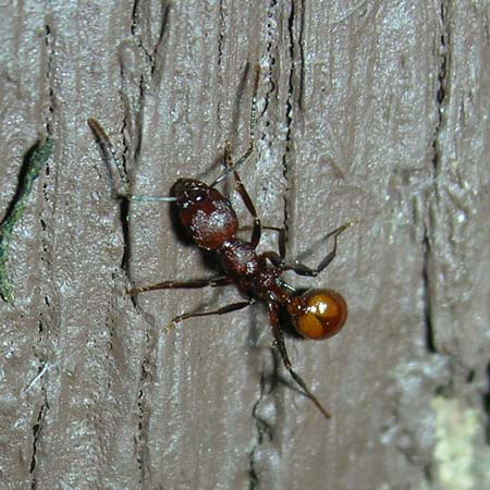Orange spotted ant - Aphaenogaster tennesseensis