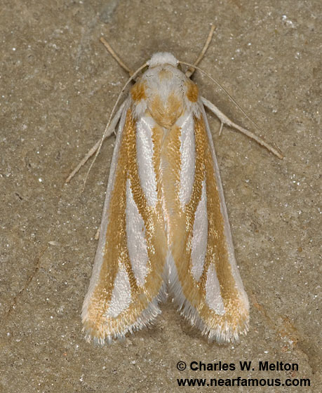 Hemigrotella argenteostriata