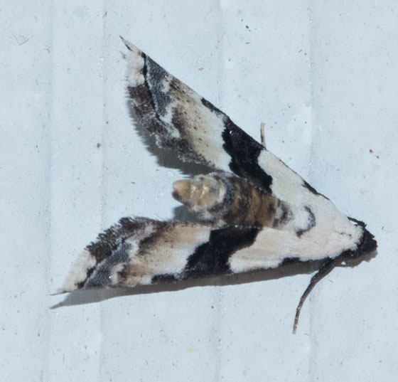 brown and white moth - Nigetia formosalis