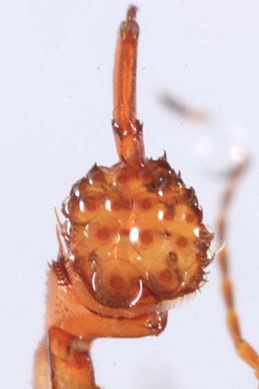Predacious Diving Beetle - Hydaticus piceus