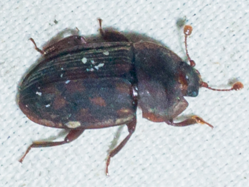 Red-brown-checkered black beetle - Phenolia grossa