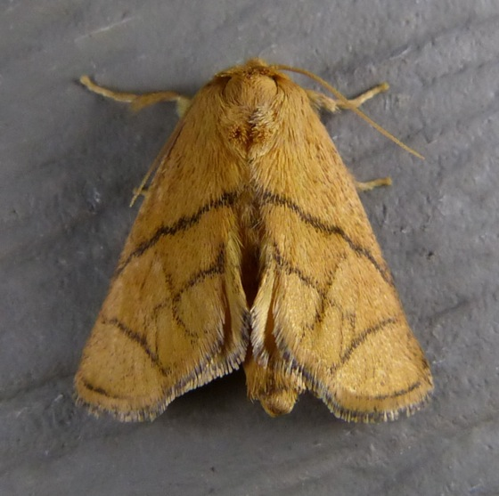 Inverted Y Slug Moth - Apoda y-inversum