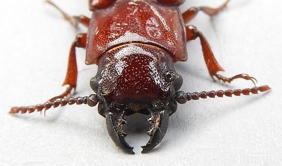 Pennsylvania Cerambycid  - Neandra brunnea