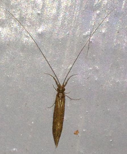 Long Horned Caddisfly- Leptoceridae