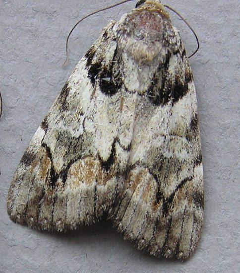 Catocala pretiosa, Precious underwing from New Jersey - Catocala pretiosa