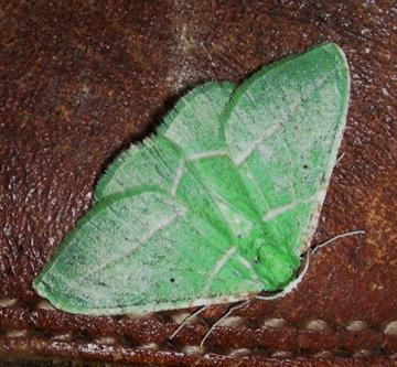 Moth #08-114A - Dichordophora phoenix