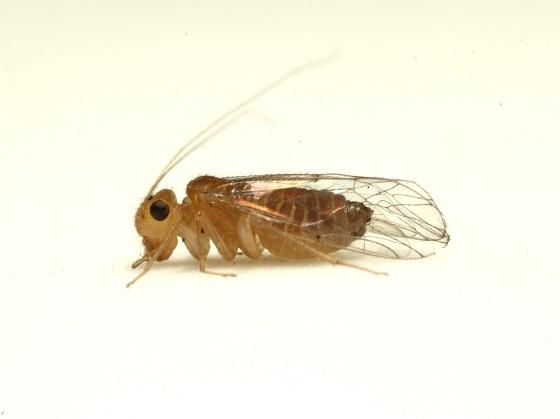 Hemipsocus chloroticus
