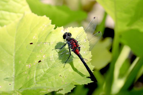 Dragonfly - Leucorrhinia glacialis