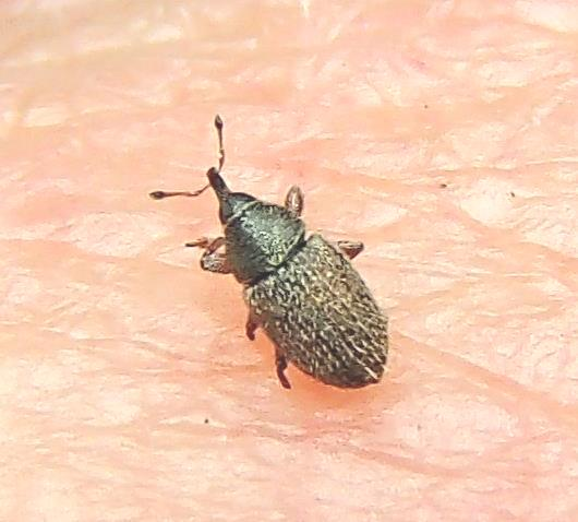 Tiny Beetle -Mecinus pascuorum - Mecinus pascuorum