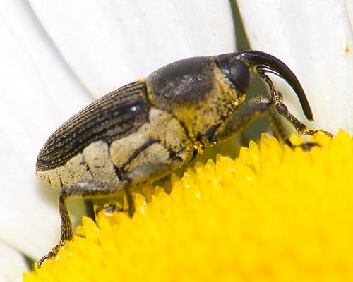 Flower Weevil - Odontocorynus salebrosus