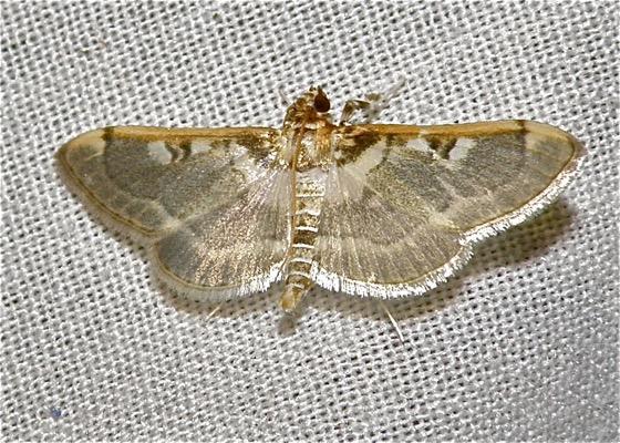 Apilocrocis Moth - Apilocrocis pimalis