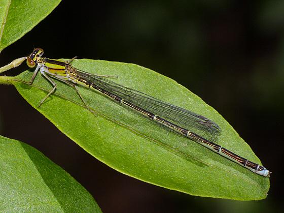 Damselfly ID? - Enallagma vesperum - female