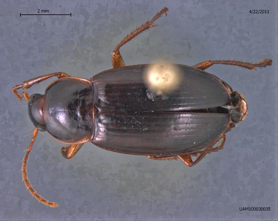 Calathus ingratus