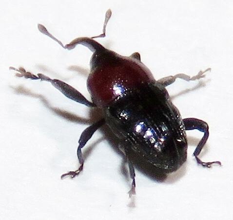 Weevil - Madarellus undulatus