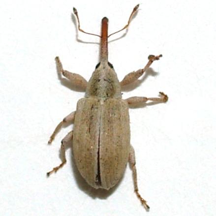 Light Weevil - Anthonomus sphaeralciae