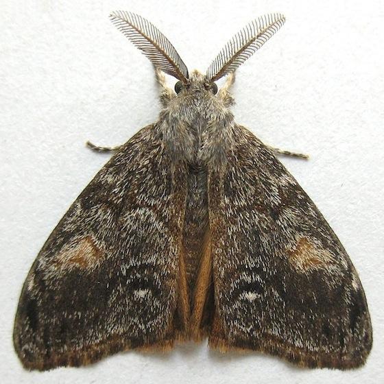 Douglas Fir Tussock Moth - Orgyia pseudotsugata - male