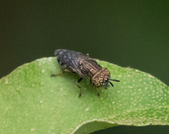 Smallish fly species with patterned eyes - Orthonevra nitida - male