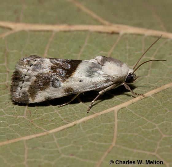 Moth - Ponometia candefacta